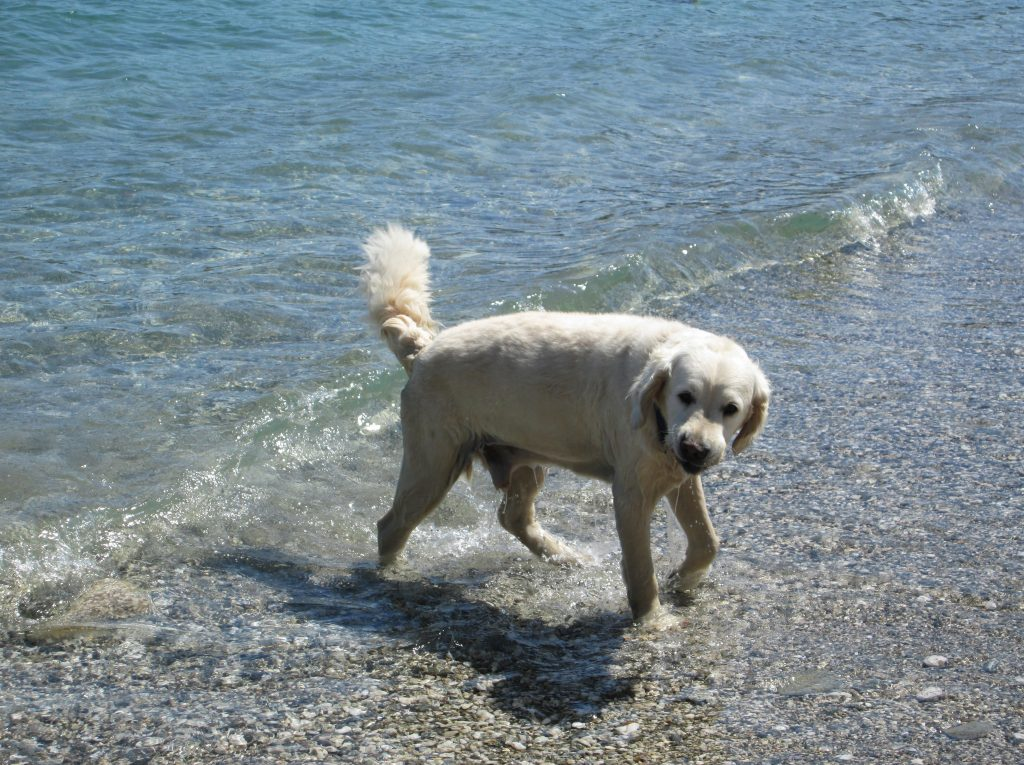 dog splashing in the shallows on a pebble beach