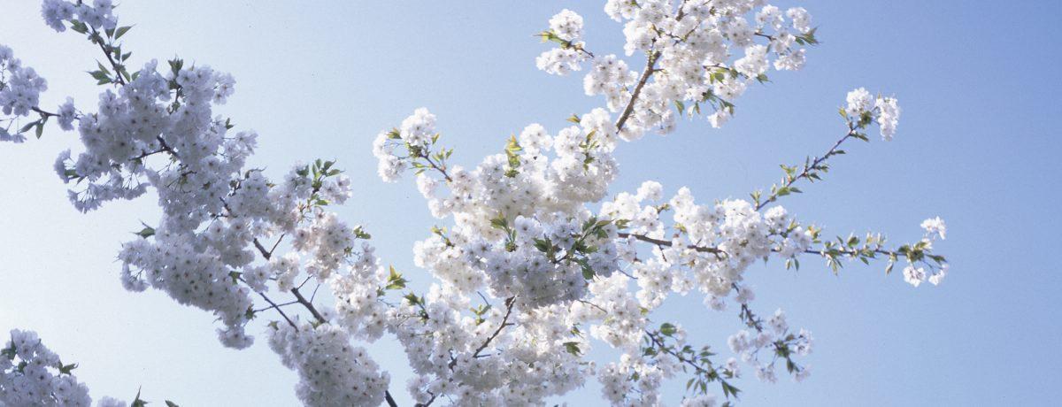 White blossoms set against a pale blue sky