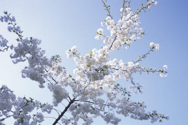 White blossoms set against a pale blue sky