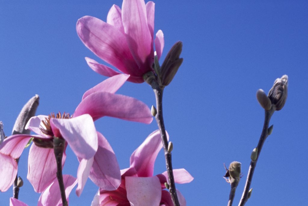 Pink magnolia flowers and buds set against a clear blue sky